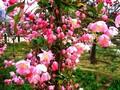 王族海棠苗/大叶北美海棠苗/绚丽海棠苗图片