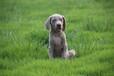 德国威玛猎犬出售公母都有专业犬舍专业繁殖魏玛犬