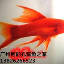 观赏鱼红剑双剑图片