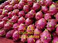 火龙果树苗基地火龙果树苗哪里有卖的图片