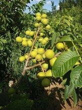 出售結果核桃樹,4-6年的結果大樹核桃樹,種上直接見效益圖片