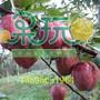 什么样的梨树苗好?千树万树梨花开,果玩梨树嫁接苗图片
