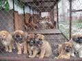 肉狗养殖场招加盟包回收免费运输及养殖技术图片
