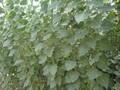 107杨树苗107种条杨树苗价格山东临清绿源杨树苗种植基地图片