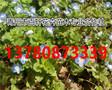 山东青州市婆婆纳小苗现货供应,青州百轩花卉苗木图片