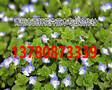 山东青州市婆婆纳小苗低价批发,青州百轩花卉苗木图片