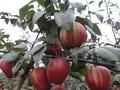 优良品种早酥红梨苗图片