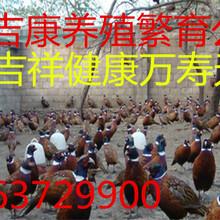 哪里有賣山雞鴕鳥孔雀出售鴕鳥苗山雞苗圖片