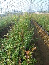 湖北藍莓批發南方藍莓有售圖片
