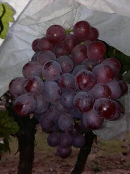 陕西渭南青提葡萄价格