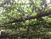 一件代发广西本地果园直供百香果产地直发百香果产地货源