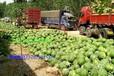 忻州大西瓜大量上市出售