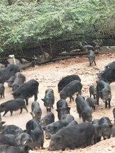 山东哪里有藏香猪养殖基地图片