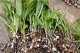 白芨,白芨种植,四川白芨,乐山峻丰生物科技有限公司