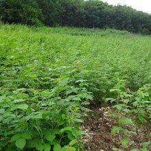樹莓苗供應價格優質安全放心樹莓苗全國批發圖片