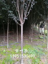 沭陽紫葉李價格3公分4公分5公分紫葉李價格報價