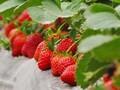 优质保真草莓苗批发保湿邮寄图片