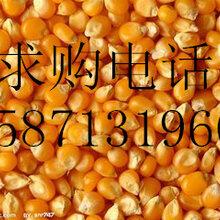 旺川求購:大麥、玉米、棉粕、大豆圖片