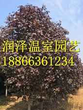 彩叶豆梨秋火焰种子,豆梨玉香缇种子,银白槭银皇后种子,秋紫白蜡种子
