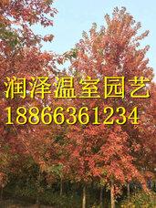 银红槭狂欢种子,红宝石种子,秋焰种子,银白槭银皇后种子