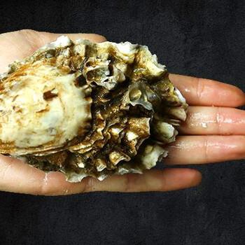 泰州生蚝批发,生蚝养殖场直供,大生蚝批发市场价格