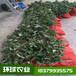 紫寶八月瓜苗八月炸種植技術指導果苗