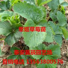 草莓苗批发草莓苗种植基地提供纯正品种抗病能力强当年结果草莓苗图片