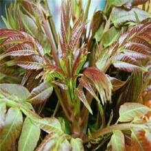 红油香椿苗图片