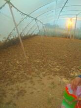 螞蚱(東亞飛蝗)特種養殖圖片