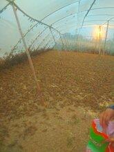蚂蚱(东亚飞蝗)特种养殖图片