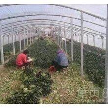 滨州惠民菠菜种植基地,长年出售菠菜,蔬菜图片