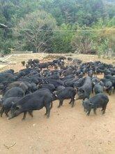 江西鷹潭哪里有放養藏香豬的圖片