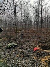 美国红枫大量现货处理图片