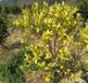 果樹葉片發黃怎么回事小心是根腐病