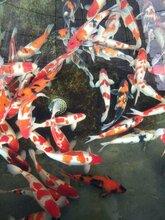 苏州观赏鱼日本锦鲤养殖场图片