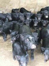 福建莆田哪有藏香猪出售基地图片