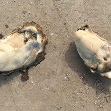 乳山牡蛎批发