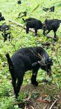 重庆黑山羊放养养殖技术,圈养饲料配方