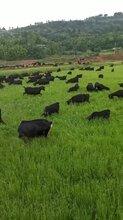 如何养殖黑山羊,圈养还是放养!