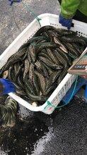大量黑鱼苗出售塘口价