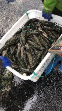 出售黑鱼苗塘口价