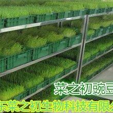 吉林黃豆芽生產技術菜之初利潤空間大圖片