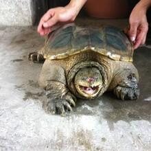 鱷魚龜怎么養殖,鱷魚龜怎么賣的,鱷龜養殖場電話圖片