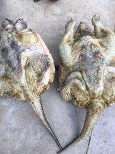 鳄鱼龟怎么养殖好,鳄鱼龟吃什么?50斤的鳄鱼龟怎么卖的图片