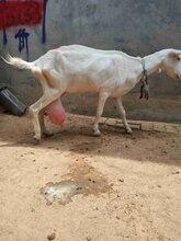 萨能奶山羊现在的价格,多大的奶山羊产奶量大图片