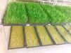 山東芽苗菜種植技術培訓菜之初好企業好品質