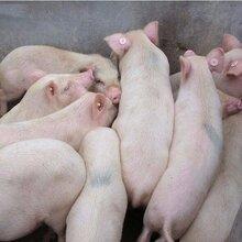 發酵酒糟喂豬的菌液什么價圖片