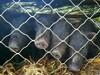 藏香猪价格藏香猪幼苗春宝厂家