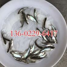 玉林三角魴魚苗批發廣西貴港三角魴魚苗出售三角魴魚苗供應圖片