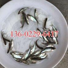 玉林三角鲂鱼苗批发广西贵港三角鲂鱼苗出售三角鲂鱼苗供应图片